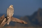 Photo of a falcon perched on a branch
