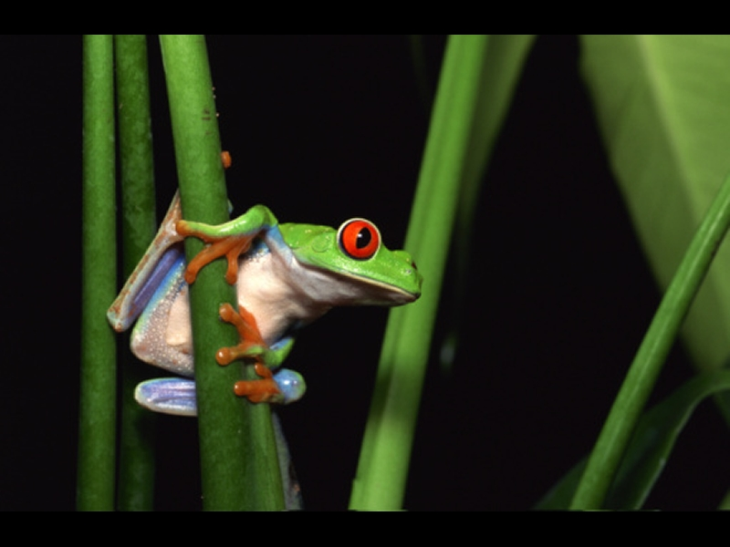 Photo of green tree frog