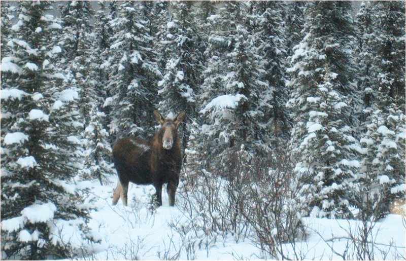 moose standing in grove of snow-covered trees