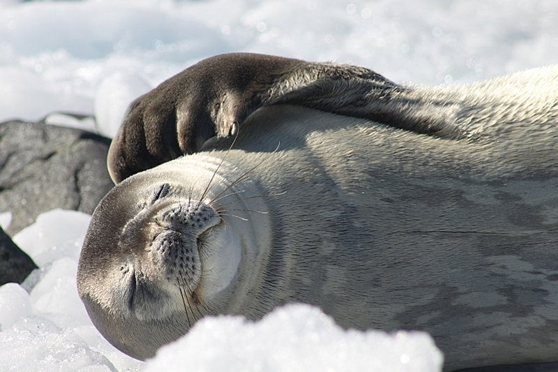 Close-up image of Weddell seal
