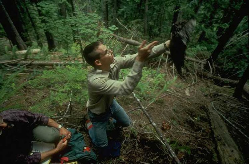 Scientist releasing spotted owl in woods; owl is a blur in motion