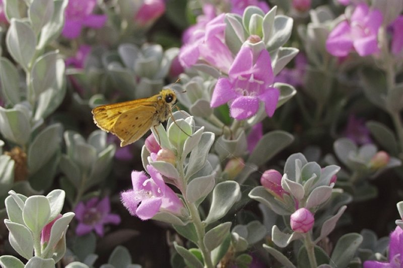 butterfly on flowering succulent plants