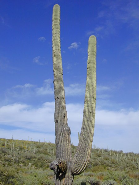 photo of tall cactus