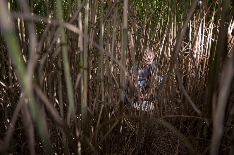 researcher collecting data, barely visible through reeds