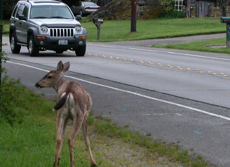 Vehicle approaching deer by side of road