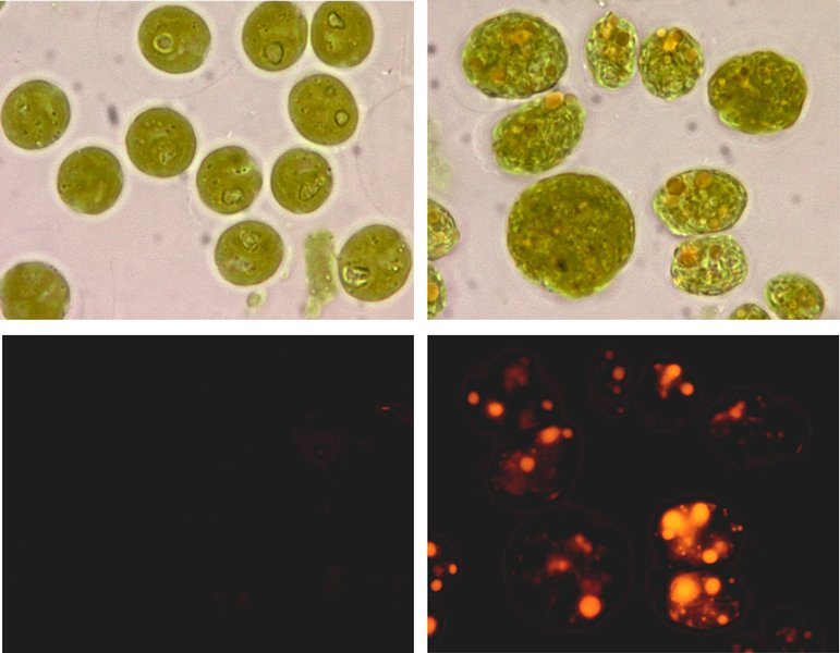 wild type and genetically modified alga strains