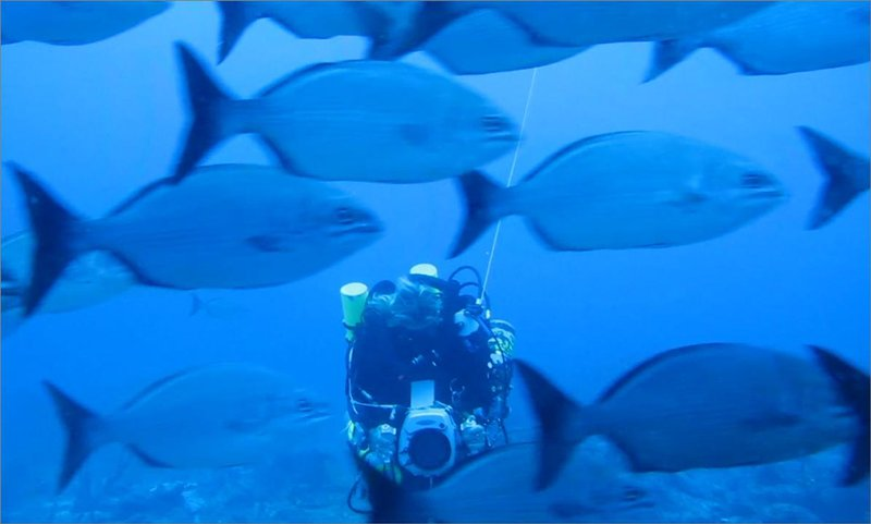 diver videotapes chubs prior to mass spawning