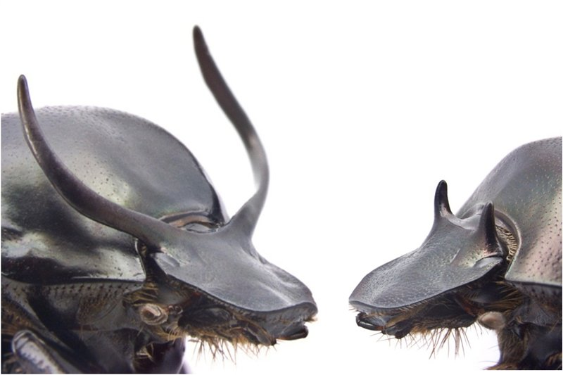 horned (left) and hornless male beetle morphs