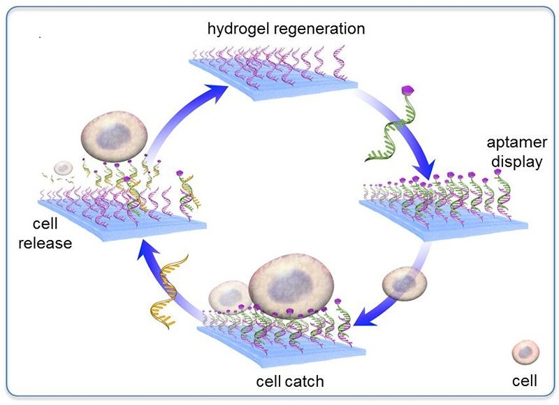 the schematic shows how a dynamic material can catch and release cancer cells
