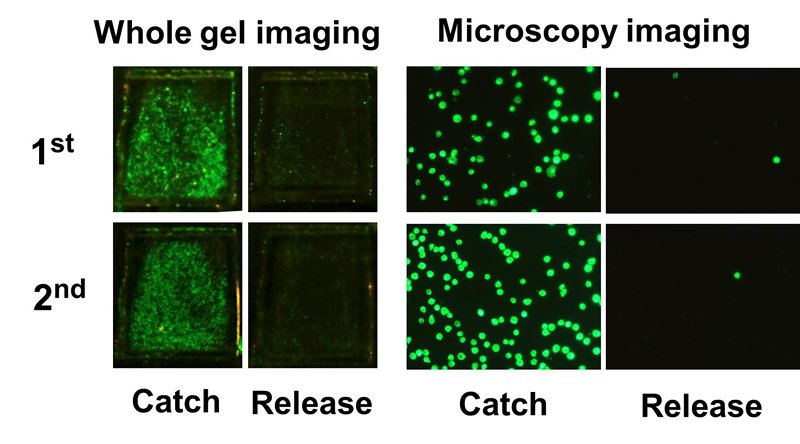 fluorescence images of cells during two rounds of catch and release