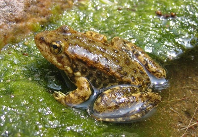 a mountain yellow-legged frog is affected by the chytrid fungus