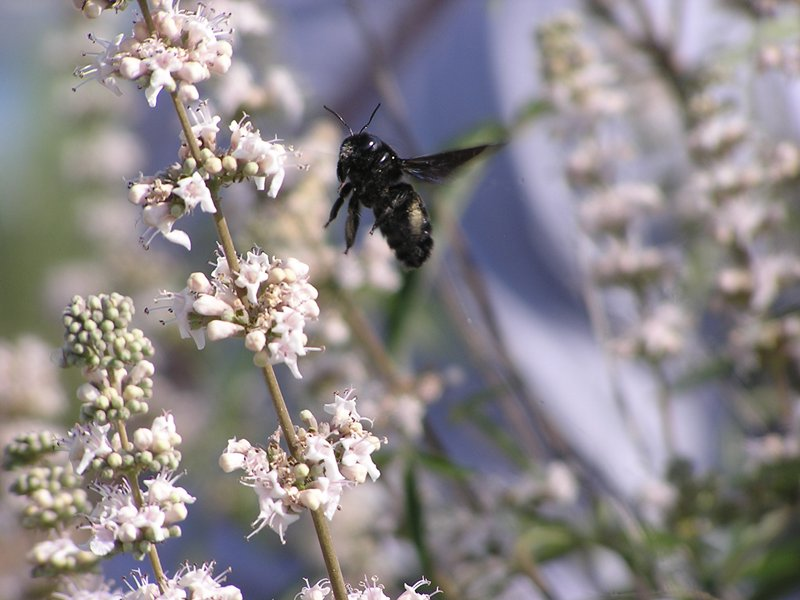 a carpenter bee visits chasteberry flowers