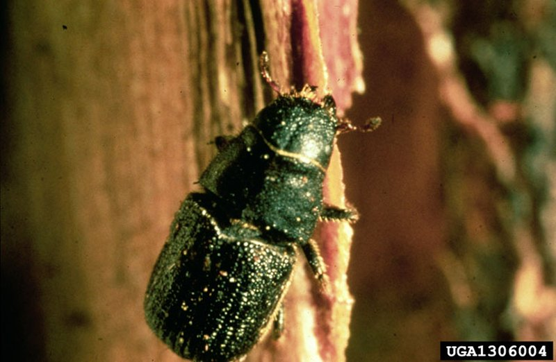 a mountain pine beetle