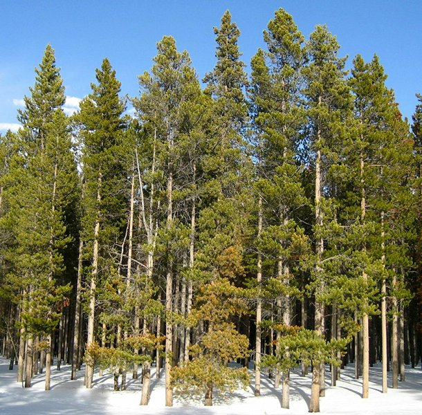 a forest days after bark beetle infestation