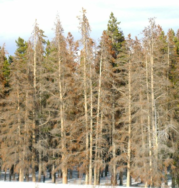 a forest years after bark beetle infestation