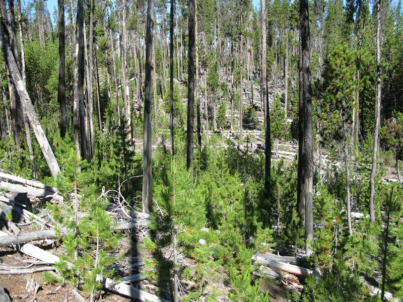 a forest decades after bark beetle infestation