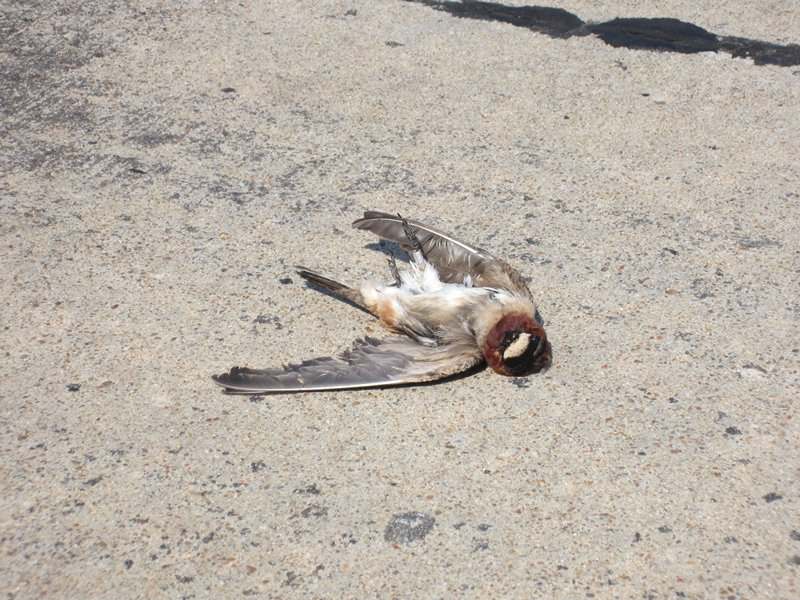 swallows killed by cars have longer wings than those that avoid cars