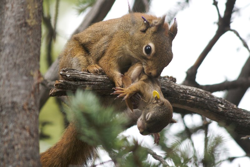 a red squirrel moves her pup from one nest to another
