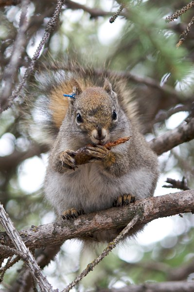 a red squirrel consumes seeds from a white spruce cone