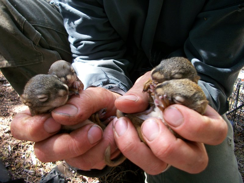 a researcher holds several 25-day-old squirrels