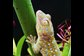 a gecko adheres to a vertically suspended leaf covered with water droplets