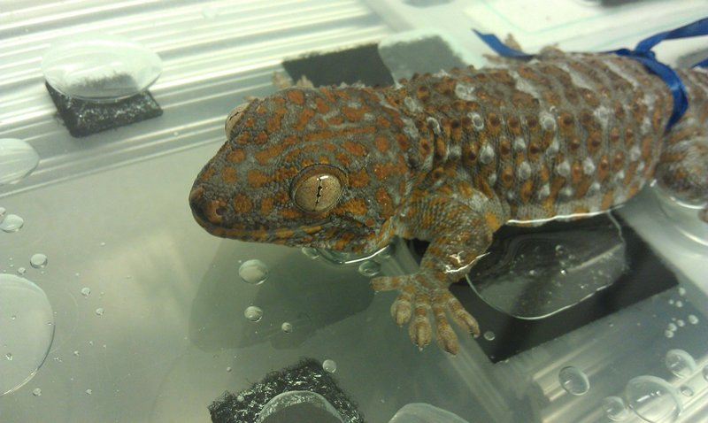 a gecko displays its power to adhere as sensors measure the force involved