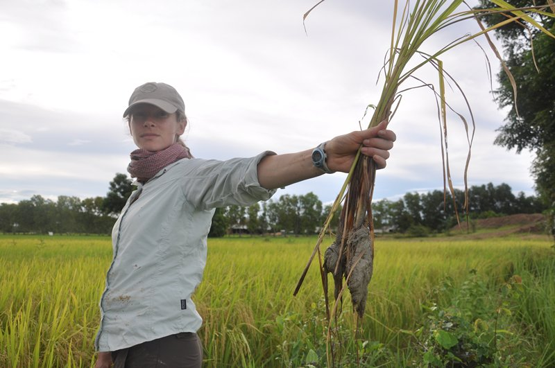 a researcher holds rice plants sampled from a cambodian rice paddy