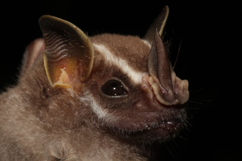 a tent-making bat, a fruit-eating species of new world leaf-nosed bats