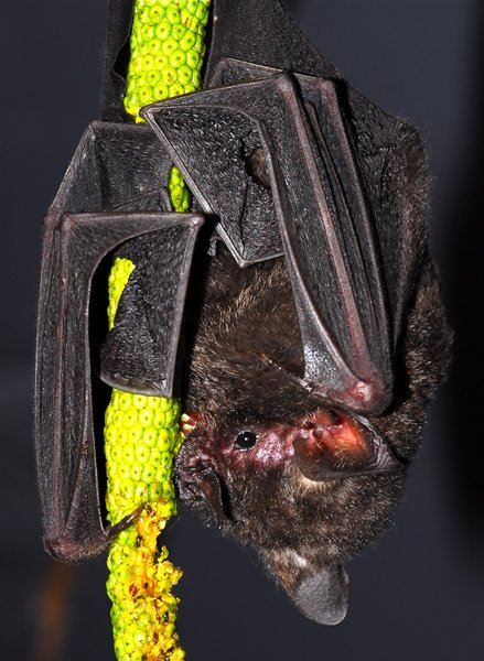 a short-tailed fruit bat feeding in a brazilian forest
