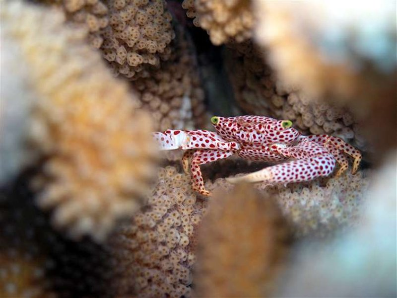photo of red spotted crab facing camera, inside coral nook